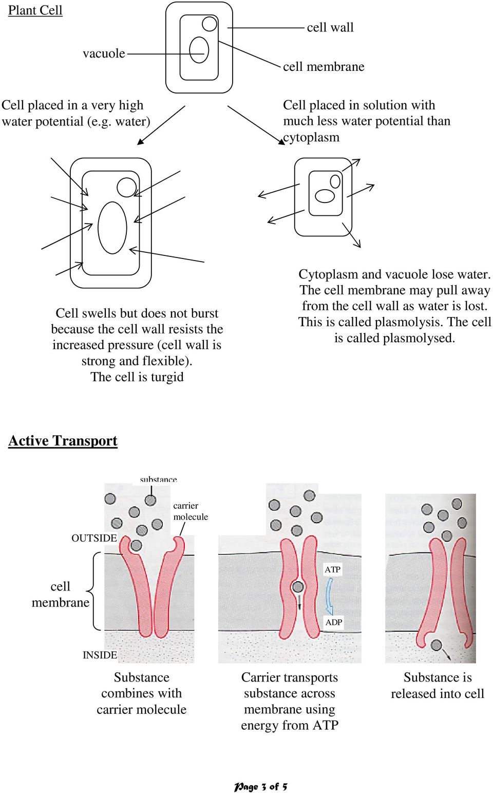 water) cell membrane Cell placed in solution with much less water potential than cytoplasm Cell swells but does not burst because the cell wall resists the increased pressure