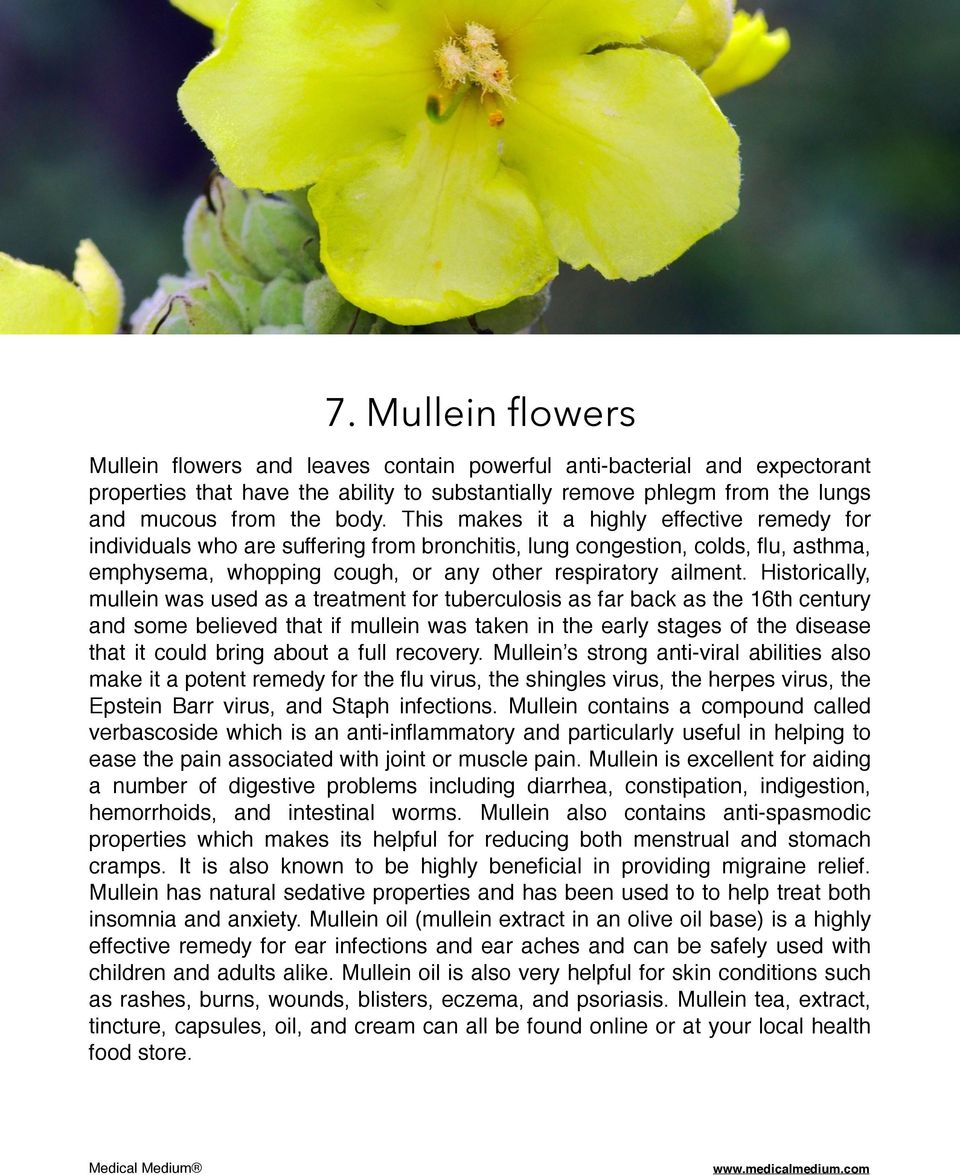 Historically, mullein was used as a treatment for tuberculosis as far back as the 16th century and some believed that if mullein was taken in the early stages of the disease that it could bring about
