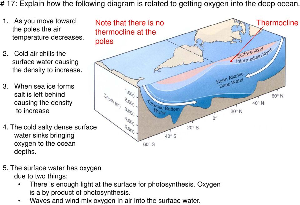 The cold salty dense surface water sinks bringing oxygen to the ocean depths. Note that there is no thermocline at the poles 5.