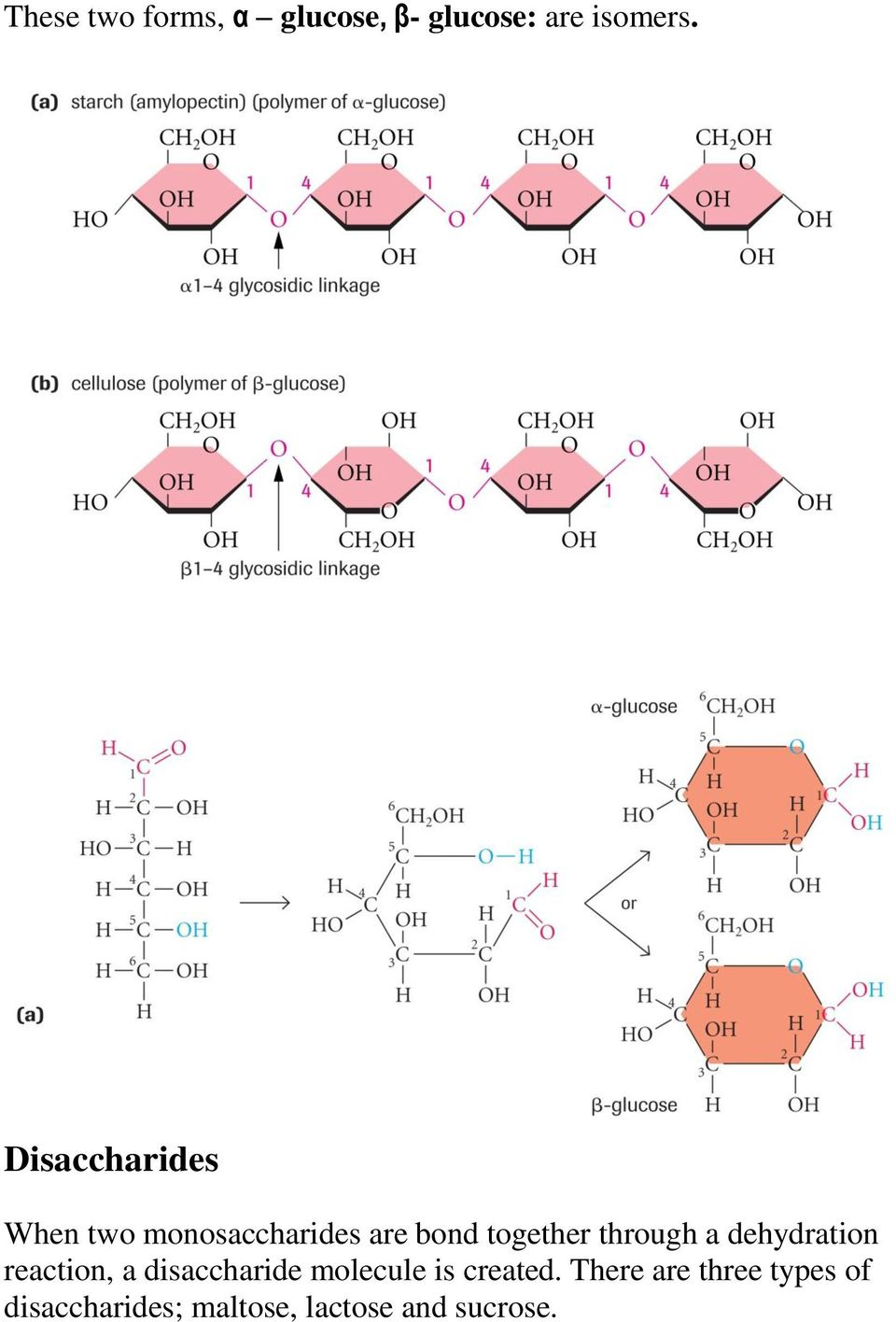 through a dehydration reaction, a disaccharide molecule is