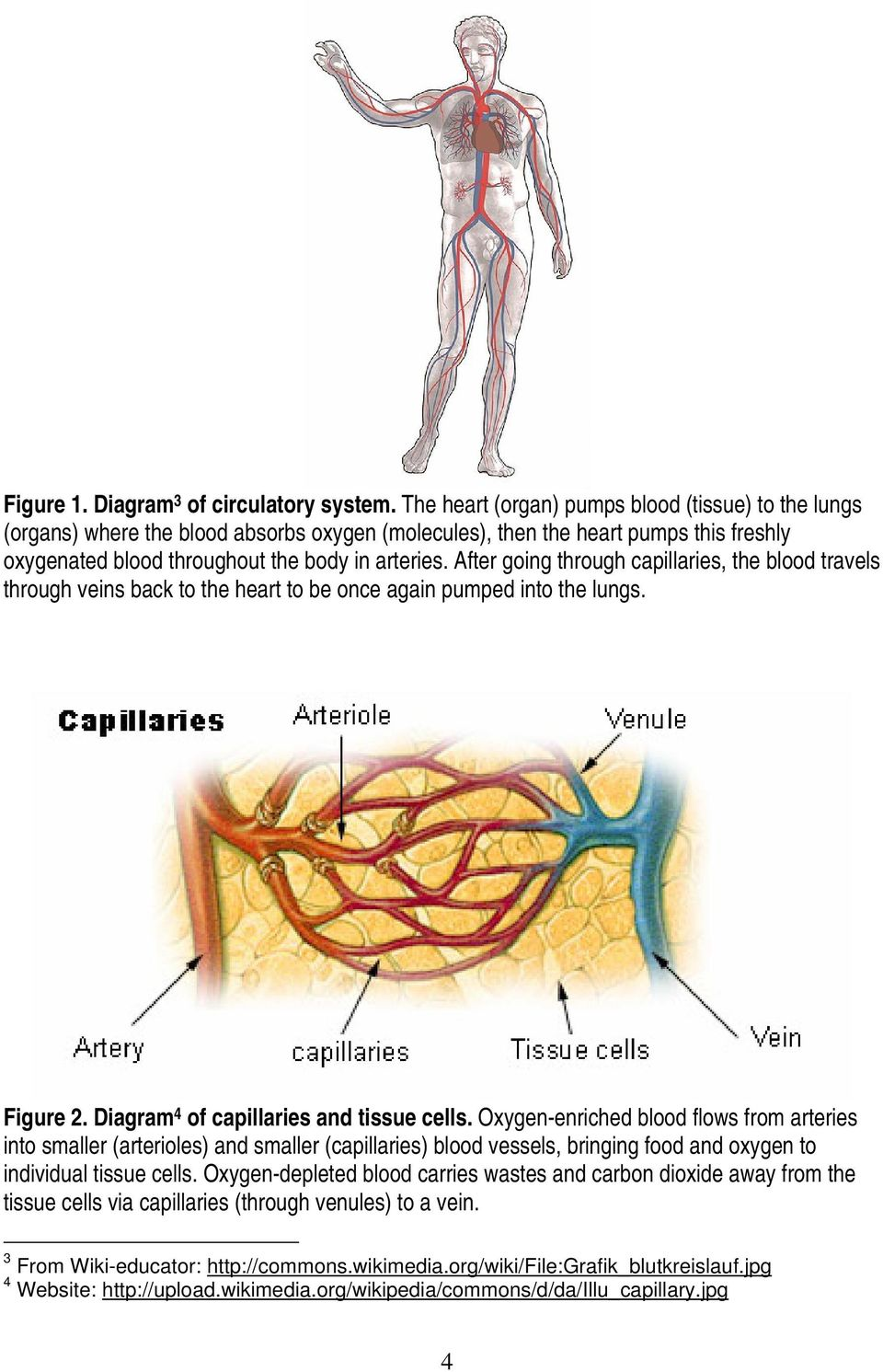 After going through capillaries, the blood travels through veins back to the heart to be once again pumped into the lungs. Figure 2. Diagram 4 of capillaries and tissue cells.