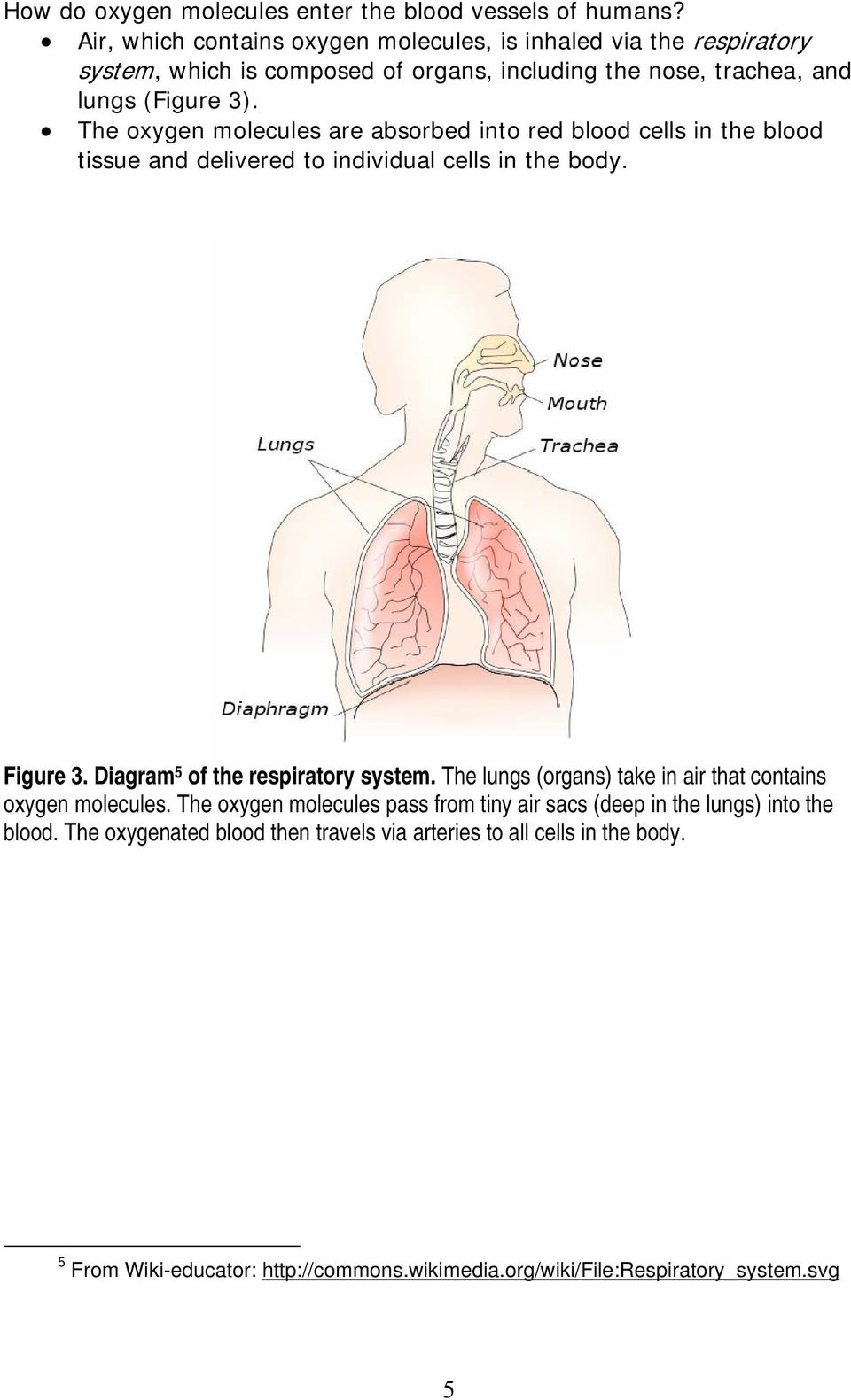 The oxygen molecules are absorbed into red blood cells in the blood tissue and delivered to individual cells in the body. Figure 3. Diagram 5 of the respiratory system.