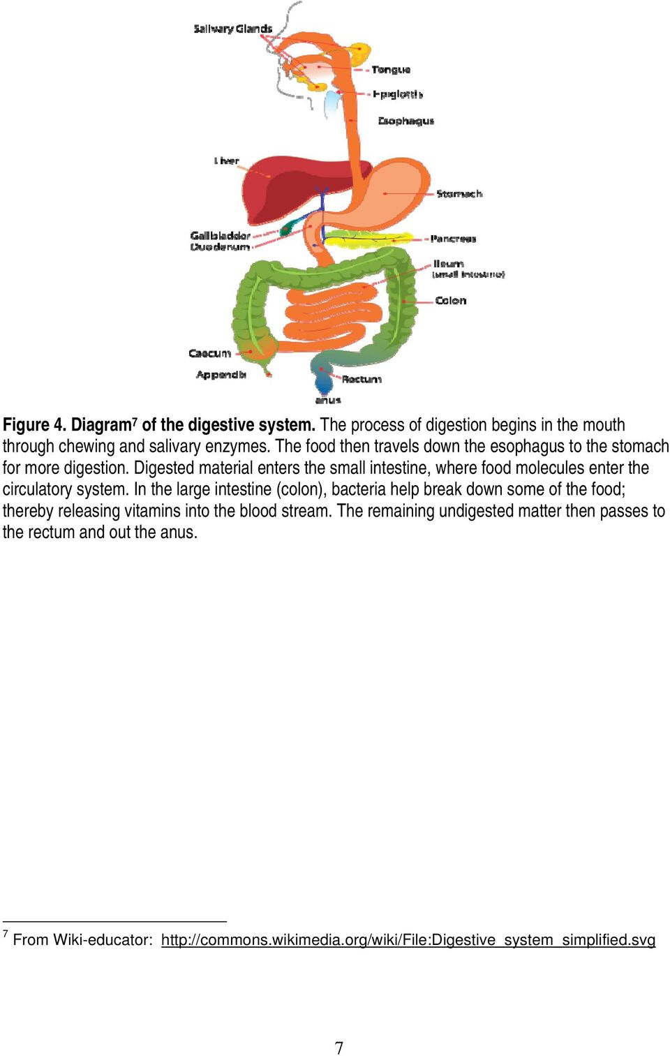 Digested material enters the small intestine, where food molecules enter the circulatory system.