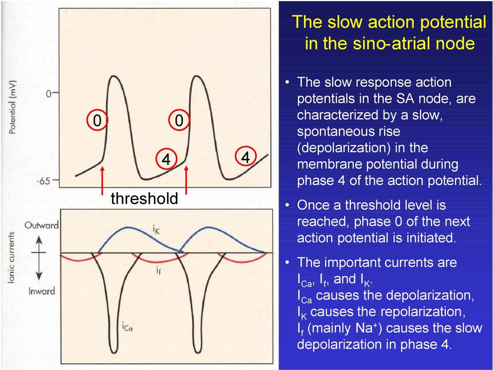 Once a threshold level is reached, phase 0 of the next action potential is initiated.