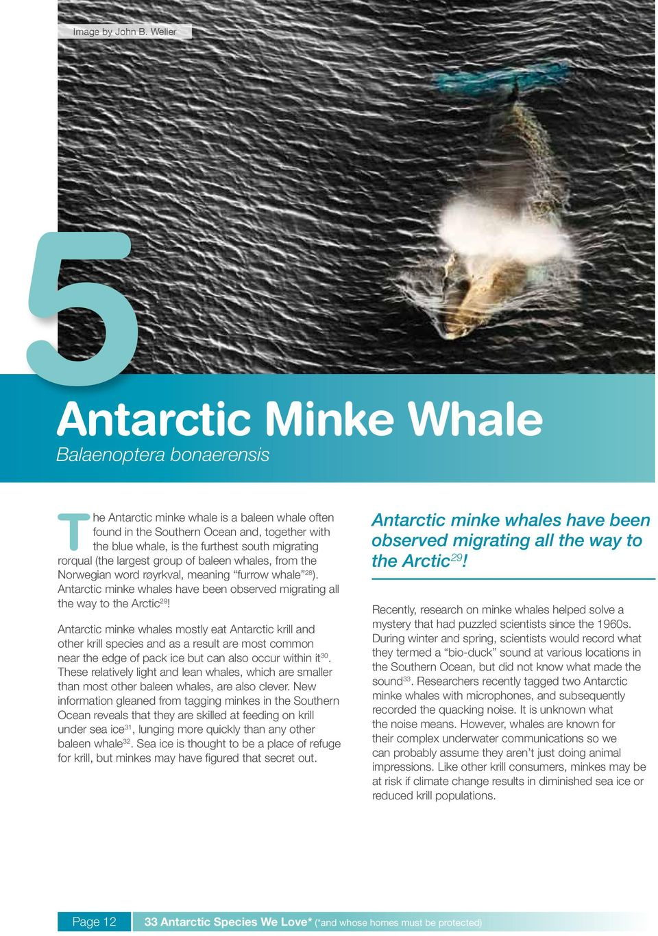rorqual (the largest group of baleen whales, from the Norwegian word røyrkval, meaning furrow whale 28 ). Antarctic minke whales have been observed migrating all the way to the Arctic 29!