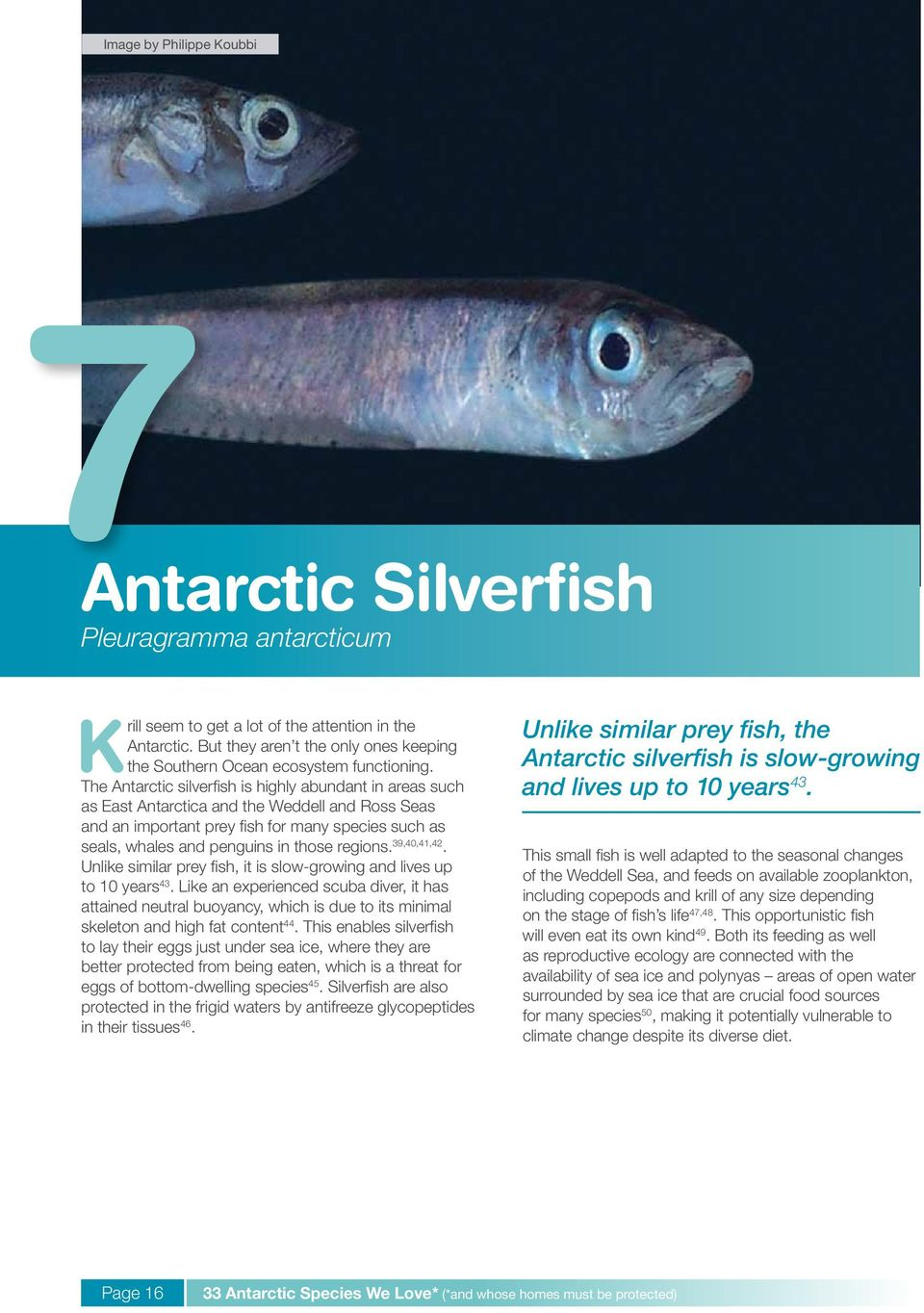 The Antarctic silverfish is highly abundant in areas such as East Antarctica and the Weddell and Ross Seas and an important prey fish for many species such as seals, whales and penguins in those
