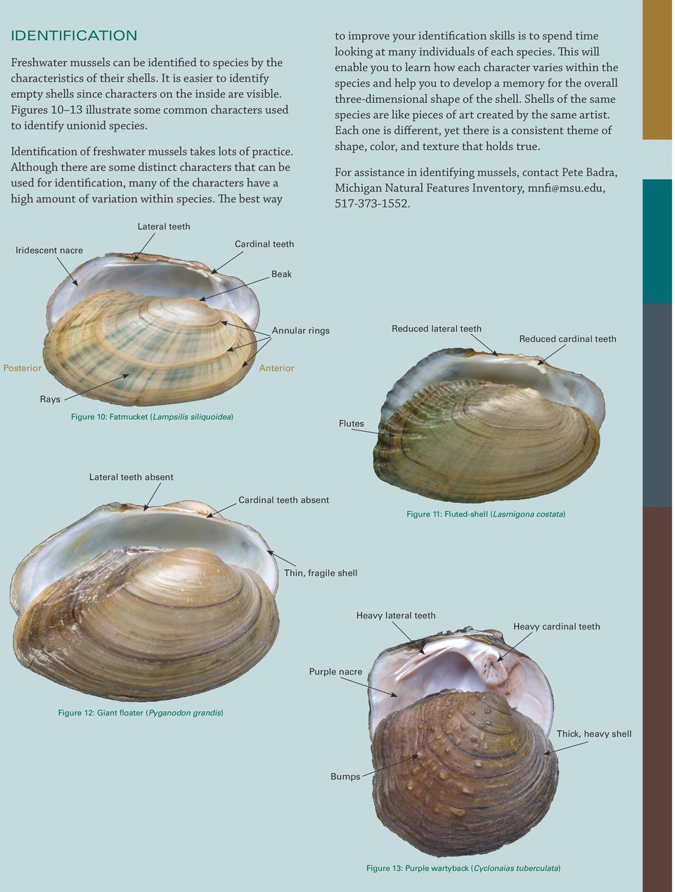 Shells of the same species are like pieces of art created by the same artist. Each one is different, yet there is a consistent theme of shape, color, and texture that holds true.