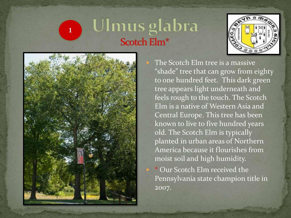 The Scotch Elm is a native of Western Asia and Central Europe. This tree has been known to live to five hundred years old.
