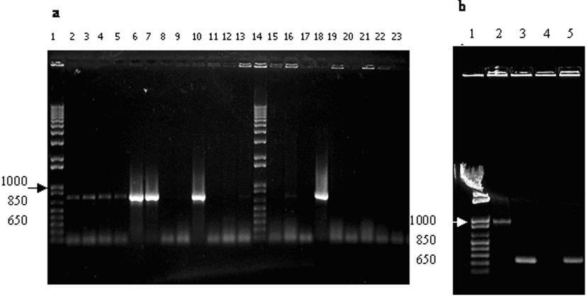 Cloning and expression of an antigenic domain of a major surface protein (Nc-p43) of Neospora caninum 63 CTT TGC ATC TCC TCT TAA CAC as the reverse one.
