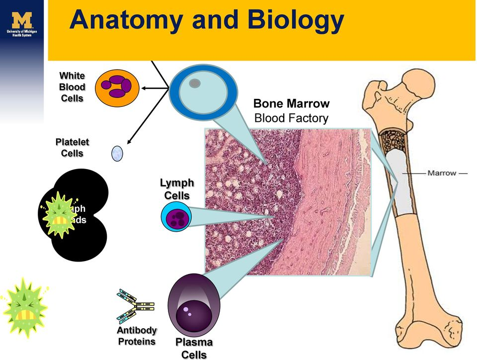 Blood Cells Bone Marrow Blood Factory Platelet