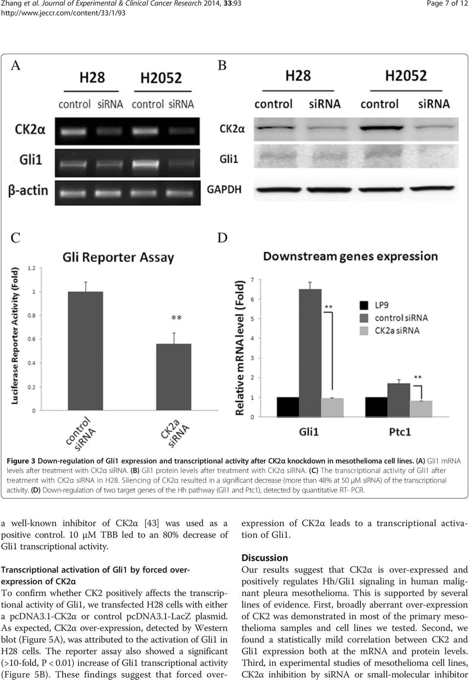 (A) Gli1 mrna levels after treatment with CK2α sirna. (B) Gli1 protein levels after treatment with CK2α sirna. (C) The transcriptional activity of Gli1 after treatment with CK2α sirna in H28.