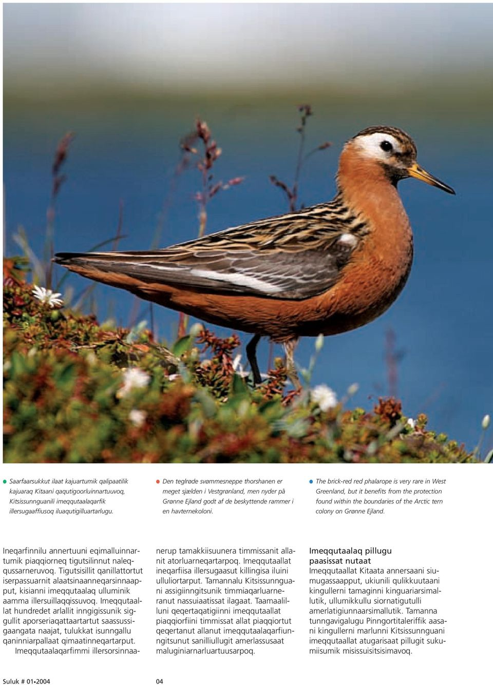 The brick-red red phalarope is very rare in West Greenland, but it benefits from the protection found within the boundaries of the Arctic tern colony on Grønne Ejland.