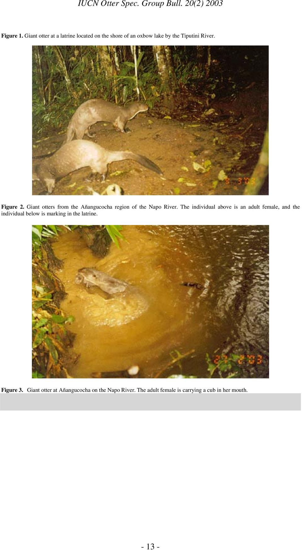 Figure 2. Giant otters from the Añangucocha region of the Napo River.