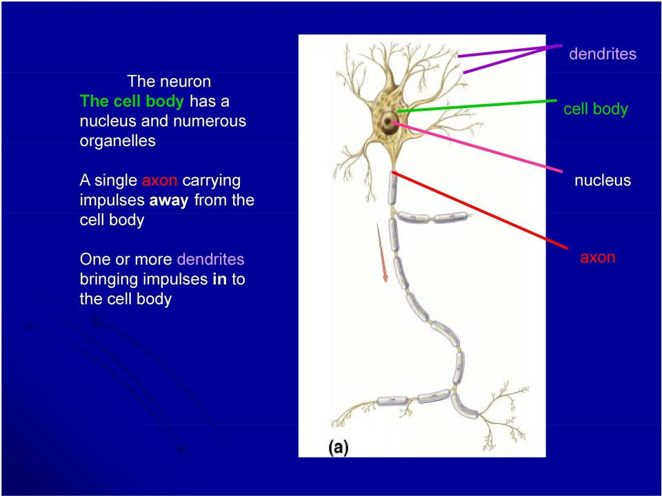 the cell body One or more dendrites bringing