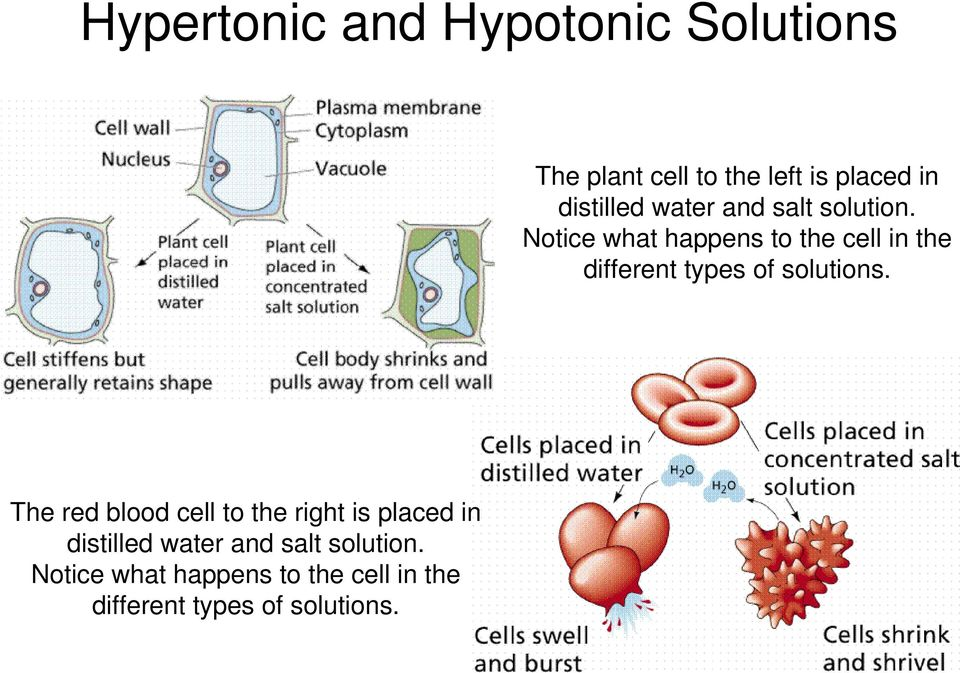 Notice what happens to the cell in the different types of solutions.