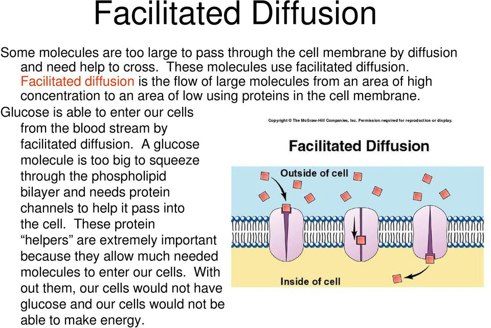 Glucose is able to enter our cells from the blood stream by facilitated diffusion.