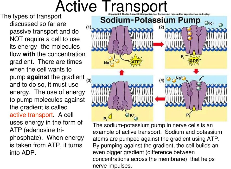 A cell uses energy in the form of ATP (adenosine triphosphate). When energy is taken from ATP, it turns into ADP. The sodium-potassium pump in nerve cells is an example of active transport.