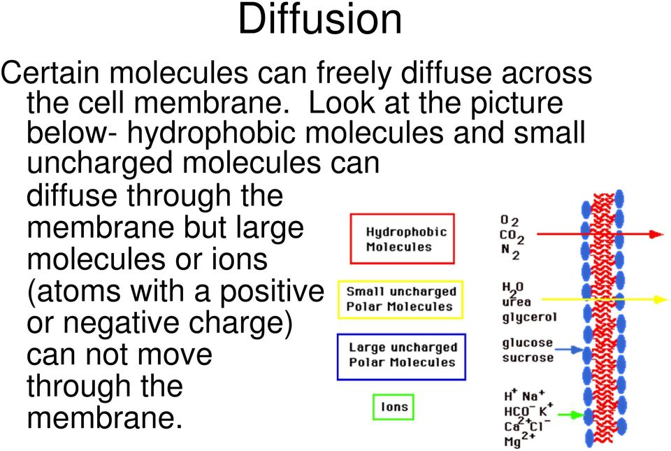 molecules can diffuse through the membrane but large molecules or ions