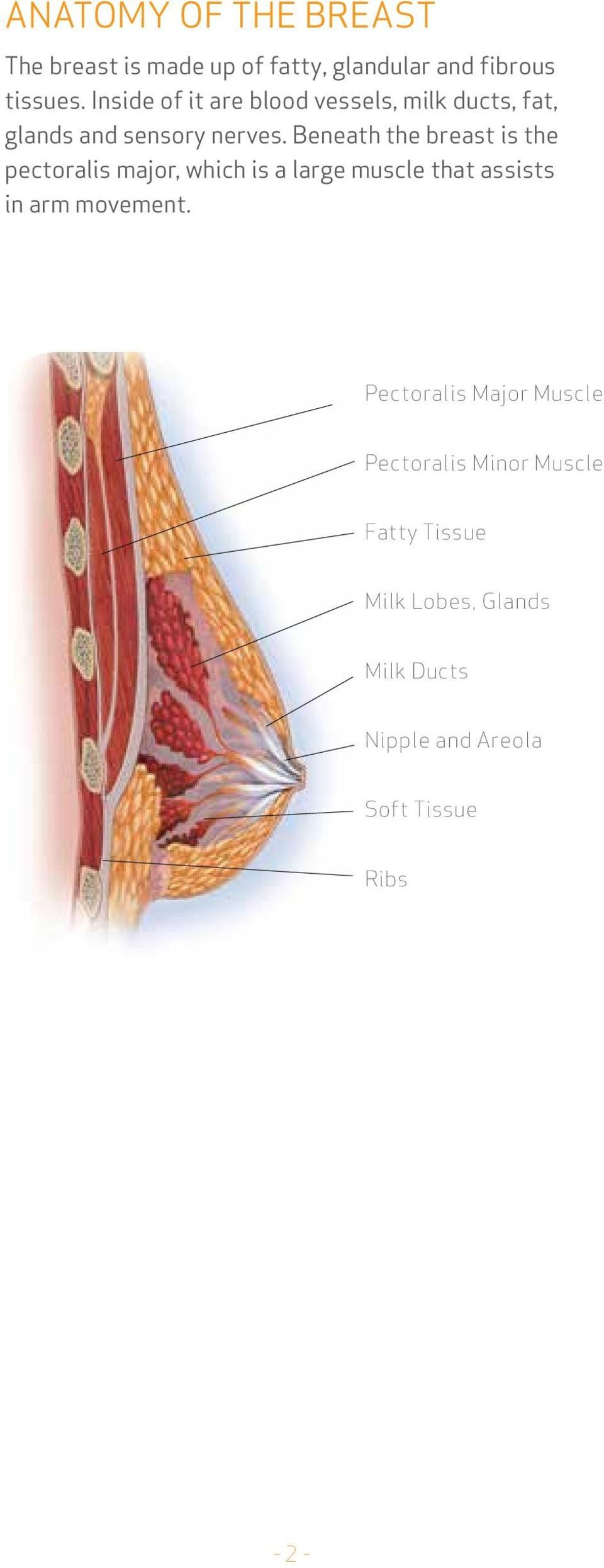 Beneath the breast is the pectoralis major, which is a large muscle that assists in arm movement.