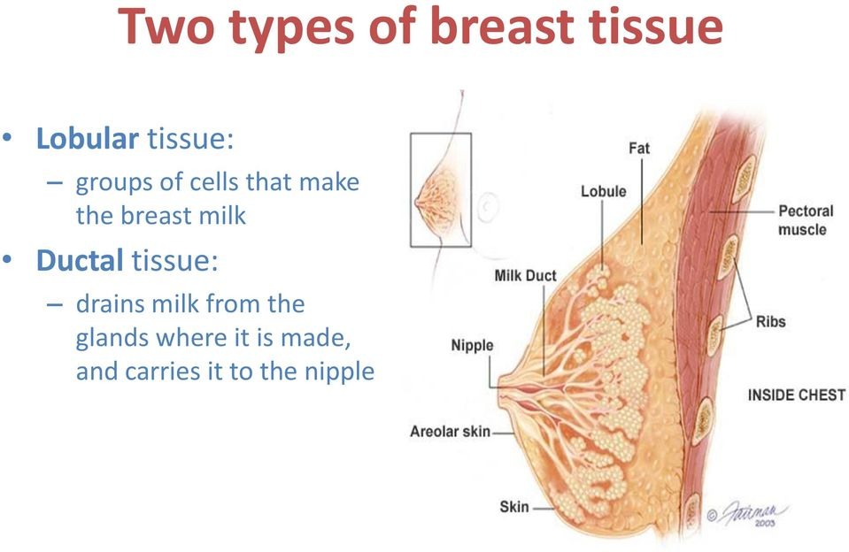Ductal tissue: drains milk from the glands