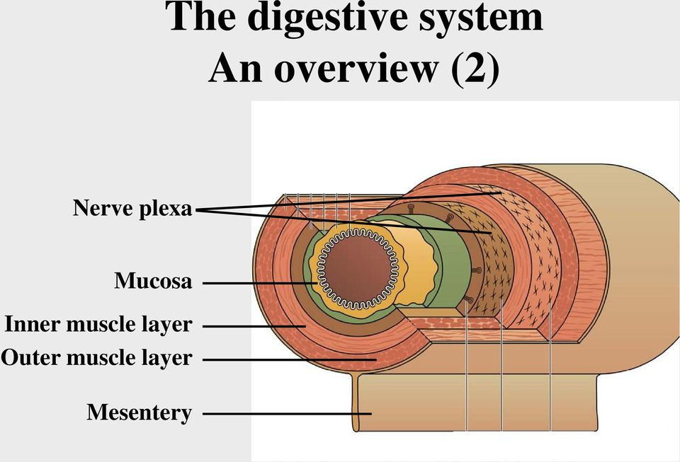 Mucosa Inner muscle layer