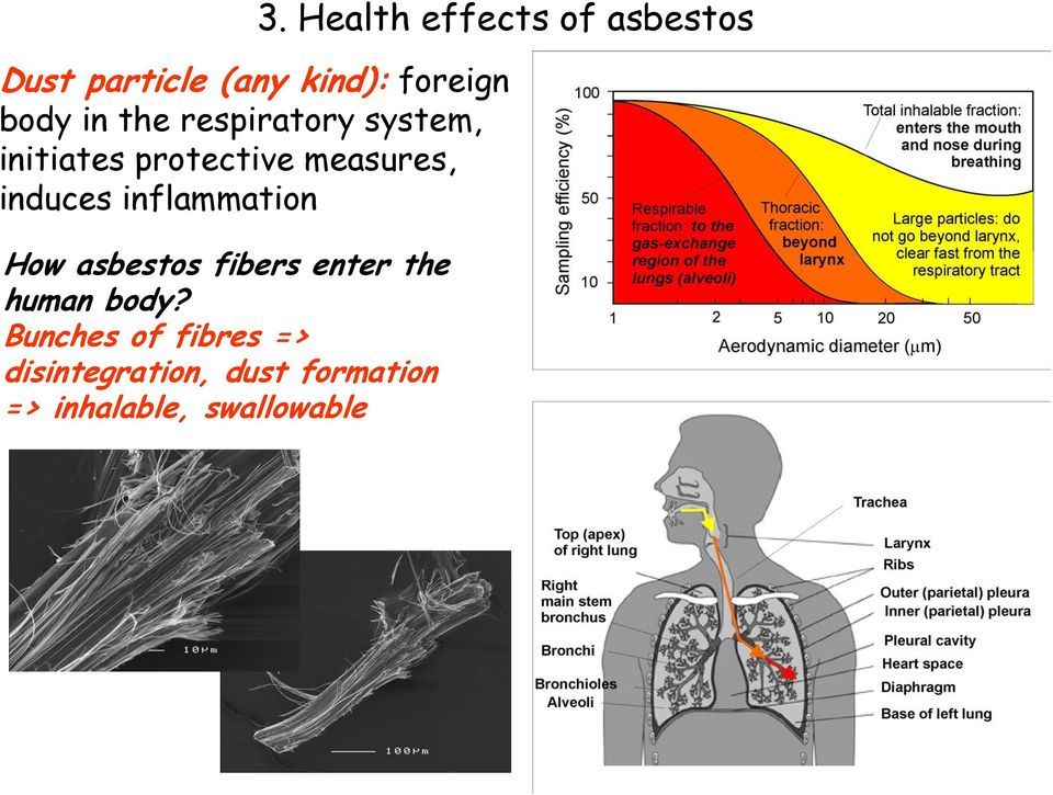 induces inflammation How asbestos fibers enter the human body?