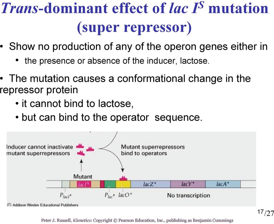 The mutation causes a conformational change in the repressor protein it cannot bind to lactose, but