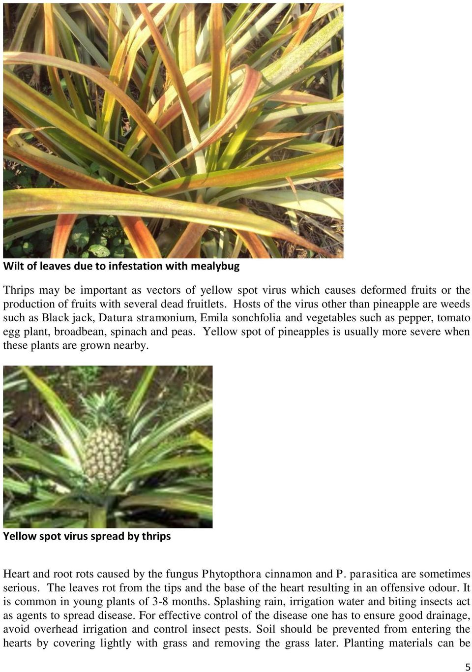 Yellow spot of pineapples is usually more severe when these plants are grown nearby. Yellow spot virus spread by thrips Heart and root rots caused by the fungus Phytopthora cinnamon and P.