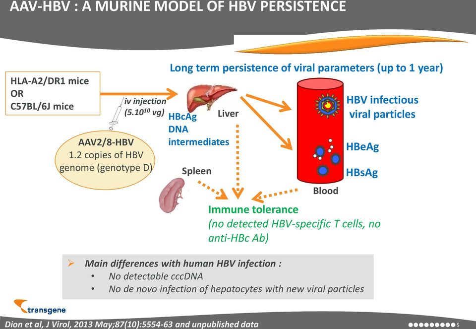 HBV infectious viral particles HBeAg HBsAg Immune tolerance (no detected HBV-specific T cells, no anti-hbc Ab) Main differences with human