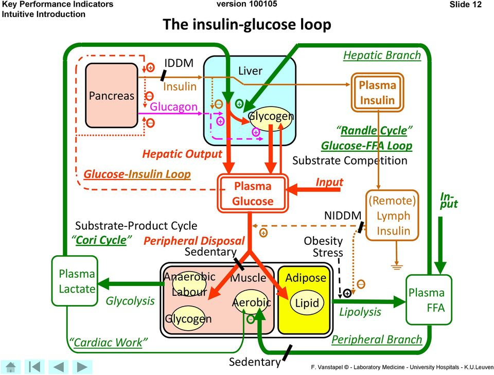 + Hepatic Branch Liver Plasma + Insulin Glycogen + Randle Cycle Glucose-FFA Loop Substrate Competition Plasma Glucose Muscle