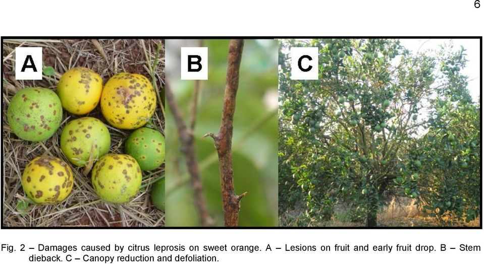 A Lesions on fruit and early fruit