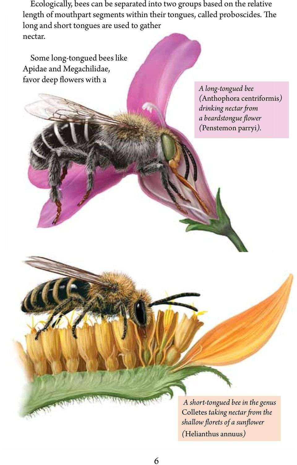 Some long-tongued bees like Apidae and Megachilidae, favor deep flowers with a A long-tongued bee (Anthophora centriformis)