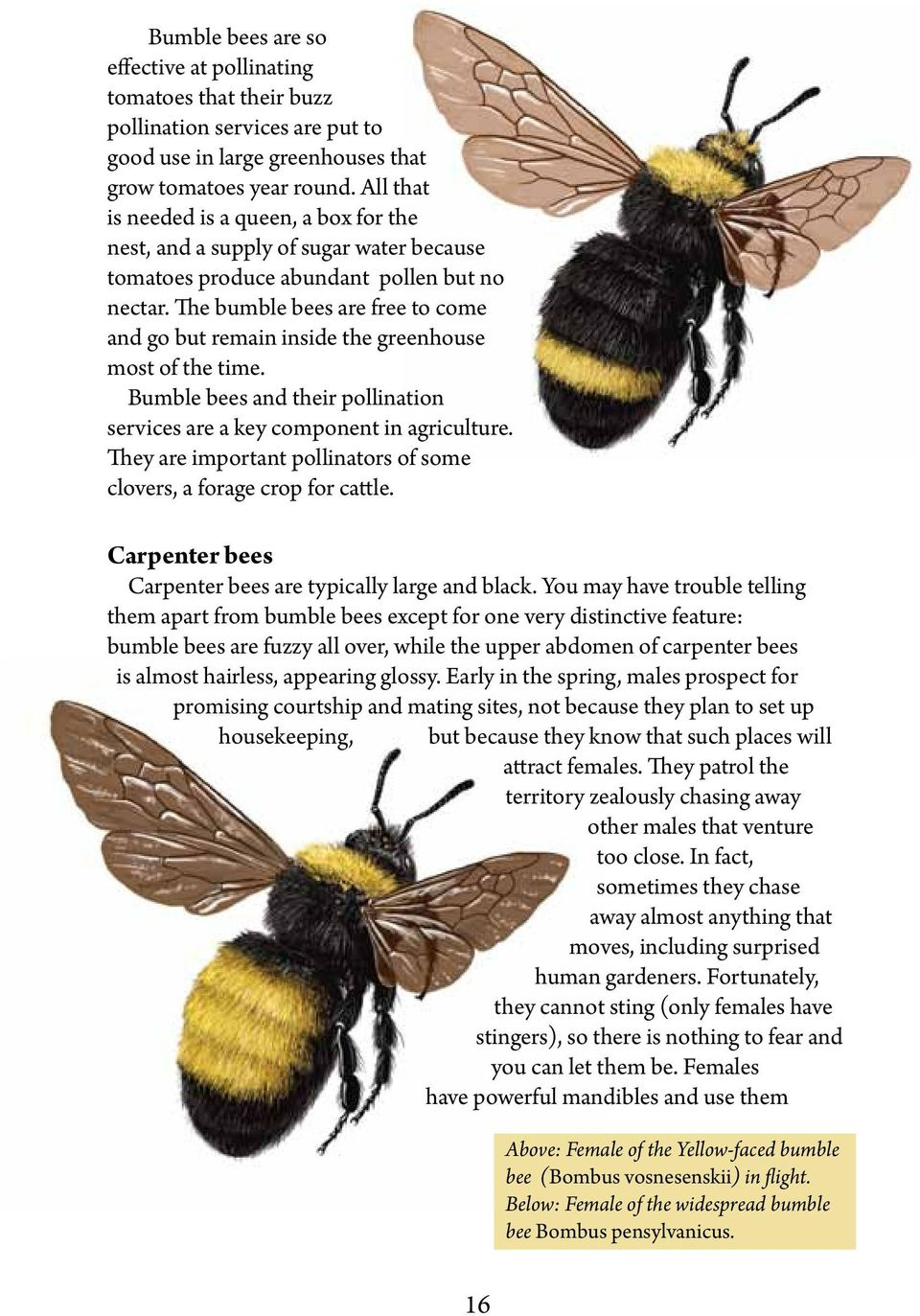 The bumble bees are free to come and go but remain inside the greenhouse most of the time. Bumble bees and their pollination services are a key component in agriculture.