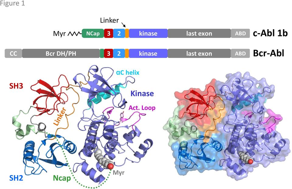 3 2 kinase last exon ABD Bcr-Abl SH3