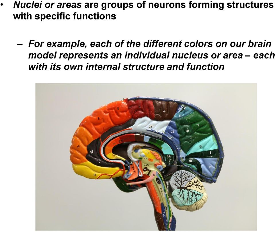 different colors on our brain model represents an