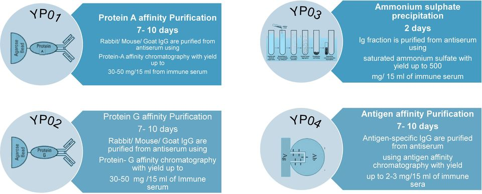 Protein G affinity Purification 7-10 days Rabbit/ Mouse/ Goat IgG are purified from antiserum using Protein- G affinity chromatography with yield up to 30-50 mg /15 ml of