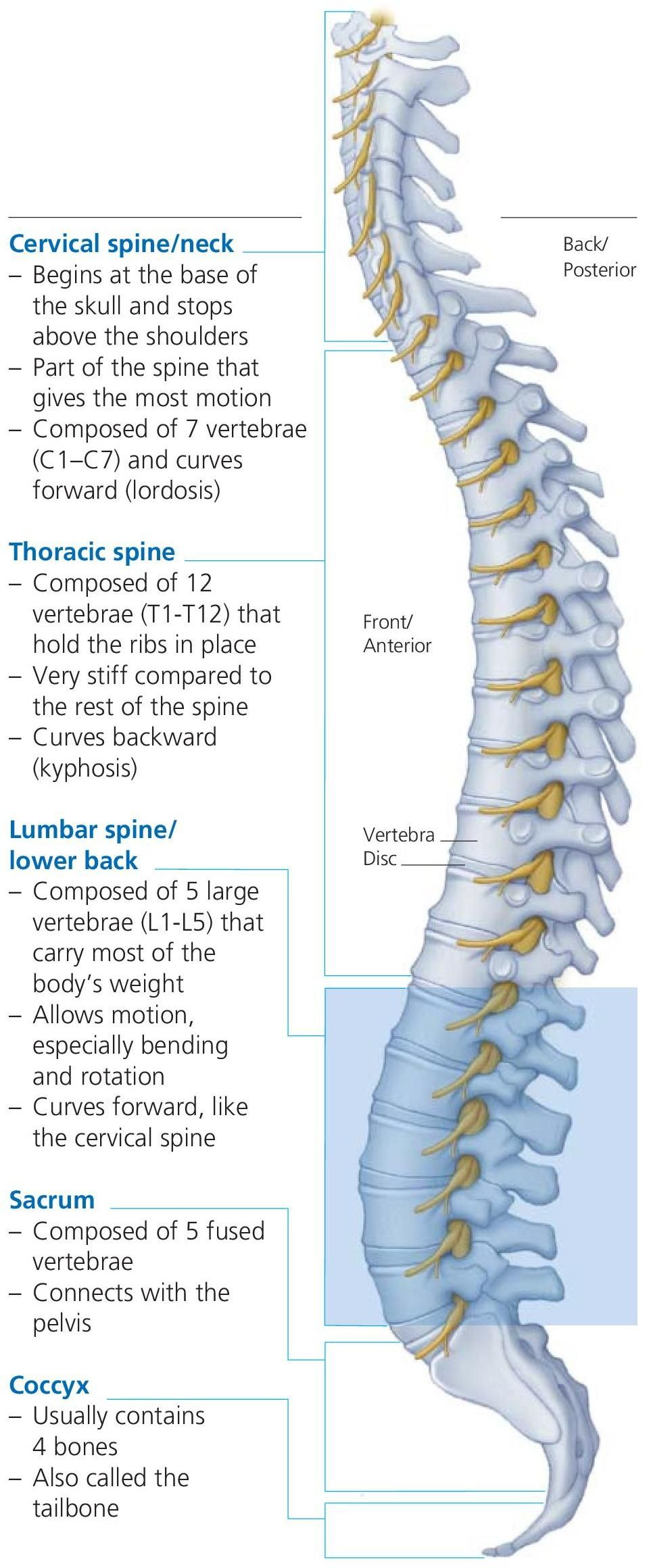 (kyphosis) Lumbar spine/ lower back Composed of 5 large vertebrae (L1-L5) that carry most of the body s weight Allows motion, especially bending and rotation Curves
