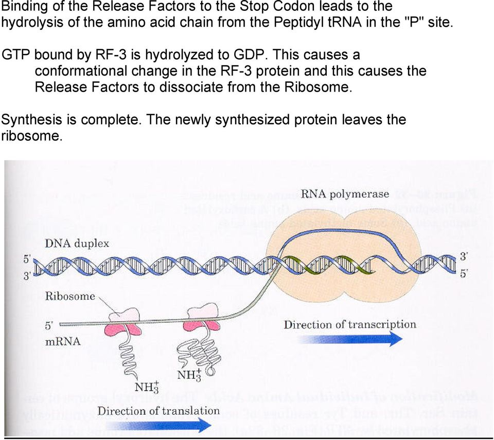 This causes a conformational change in the RF-3 protein and this causes the Release Factors