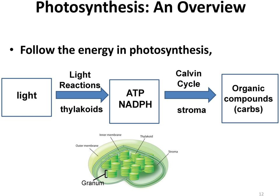 Reactions thylakoids light ATP NADPH