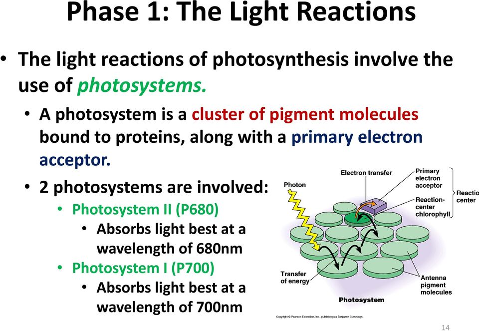 A photosystem is a cluster of pigment molecules bound to proteins, along with a primary
