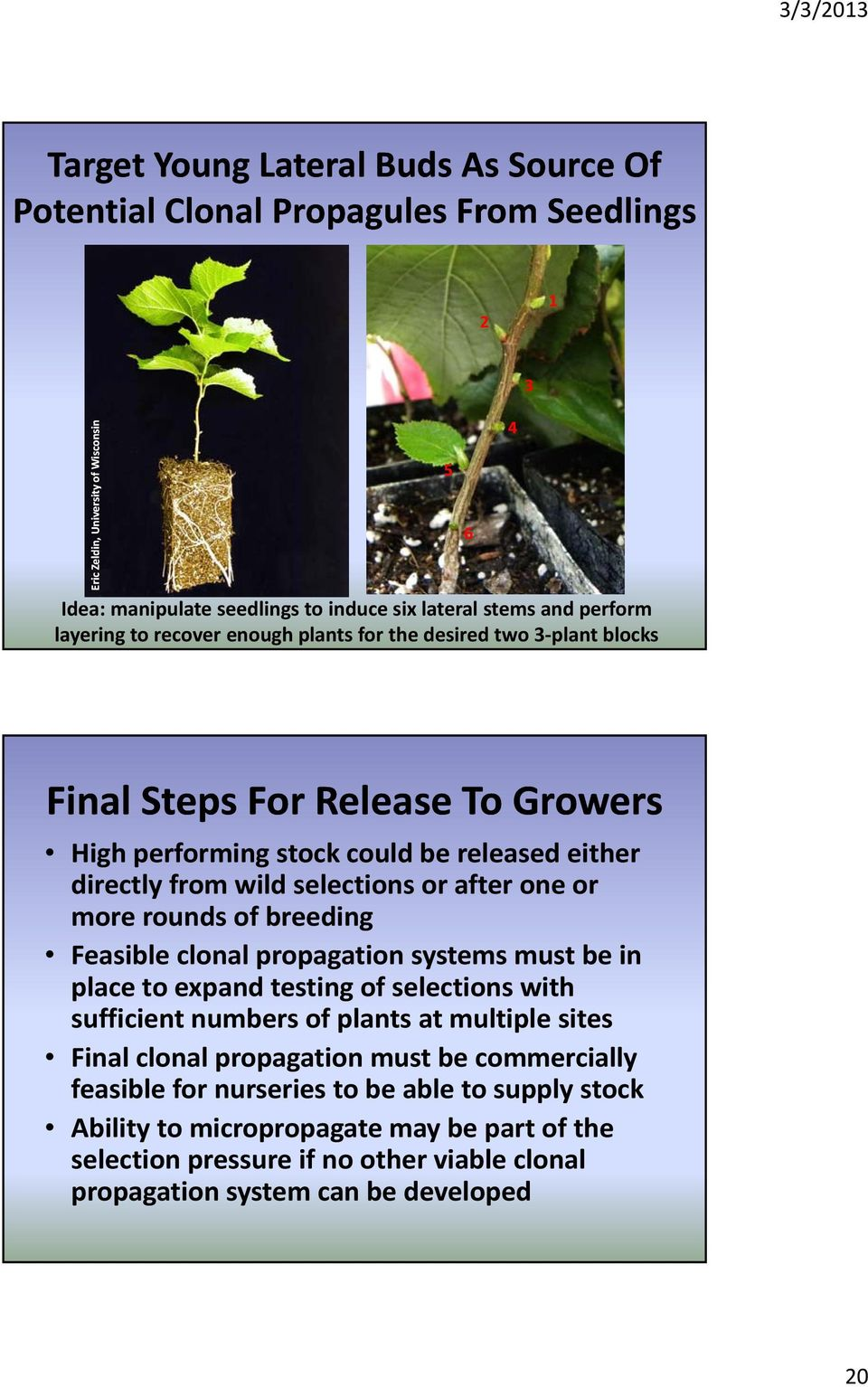 after one or more rounds of breeding Feasible clonal propagation systems must be in place to expand testing of selections with sufficient numbers of plants at multiple sites Final clonal