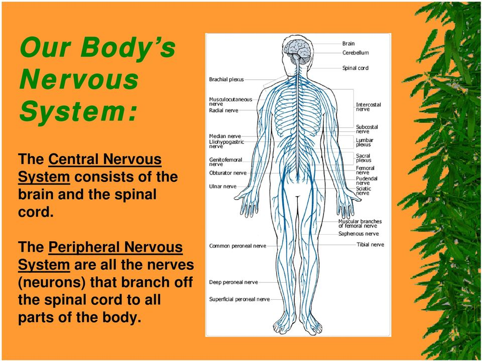 The Peripheral Nervous System are all the nerves