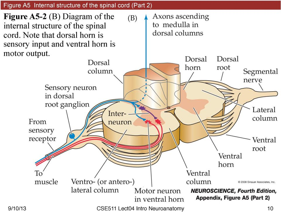 structure of the spinal cord.