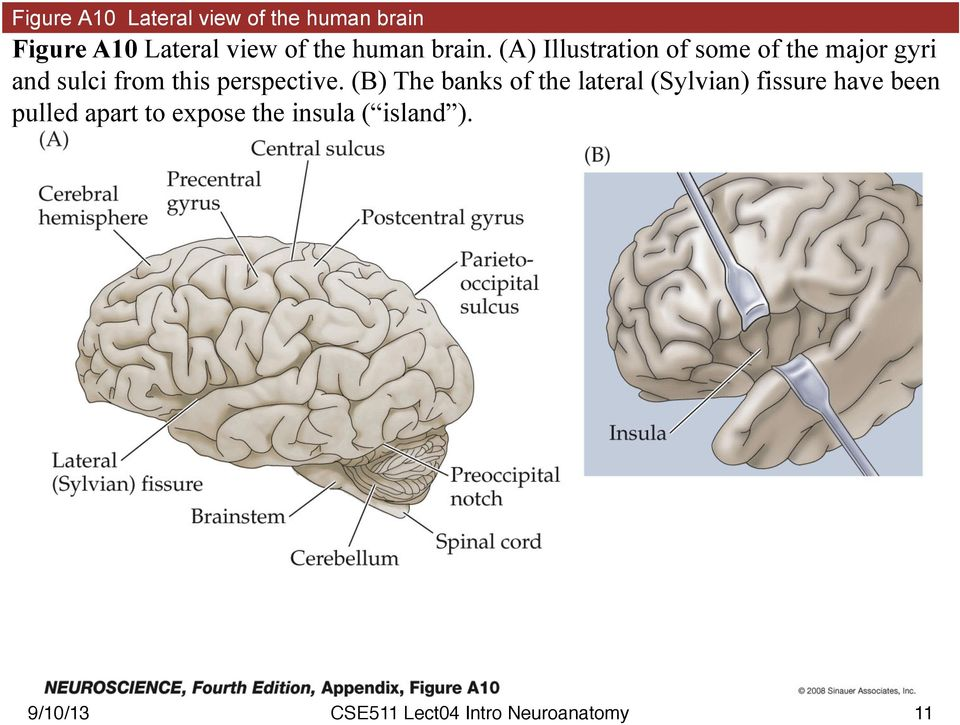 (A) Illustration of some of the major gyri and sulci from this
