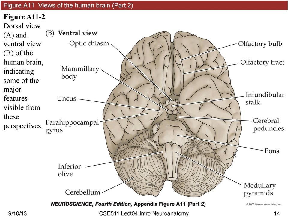 (B) of the human brain, indicating some of the