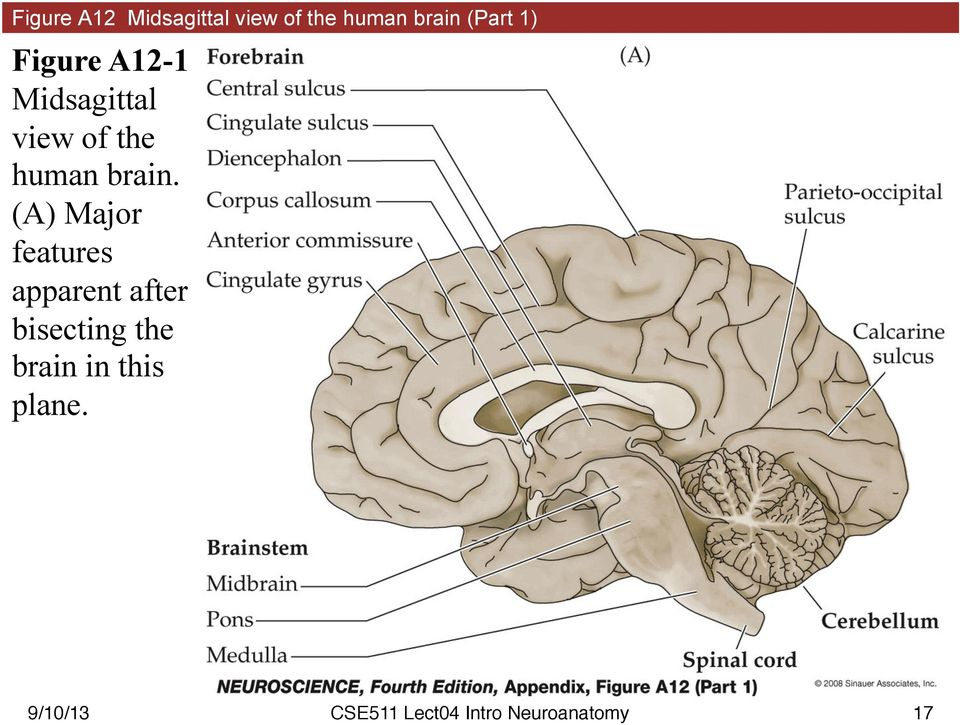 of the human brain.