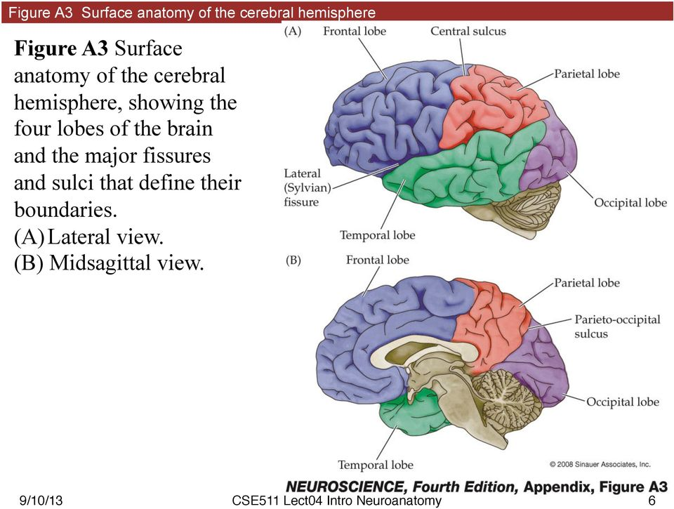 four lobes of the brain and the major fissures and sulci that