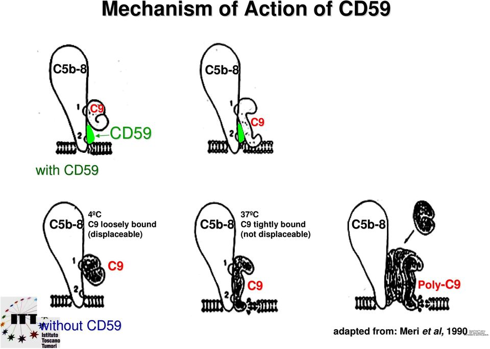 displaceable) C5b-8 C9 C9 Poly-C9 C9 without CD59 adapted from: : Meri