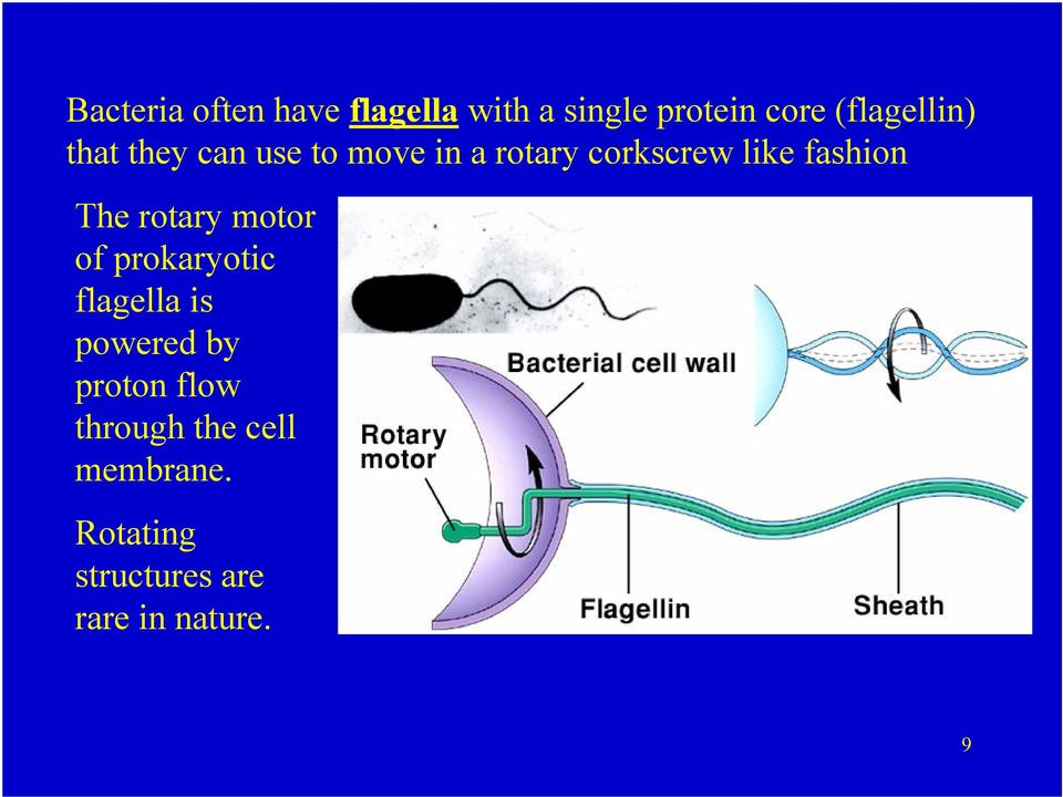fashion The rotary motor of prokaryotic flagella is powered by