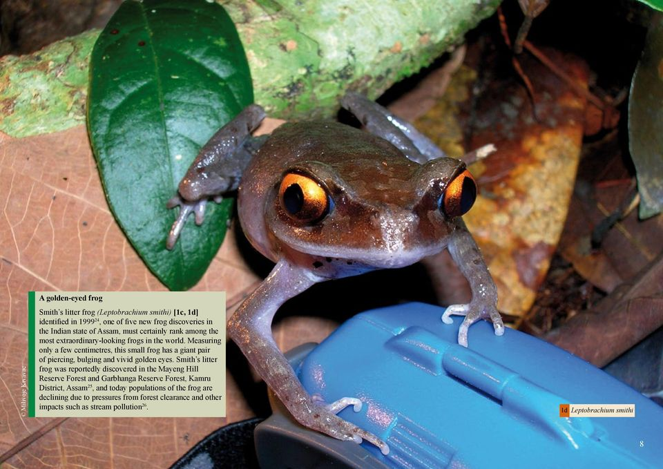 Measuring only a few centimetres, this small frog has a giant pair of piercing, bulging and vivid golden eyes.